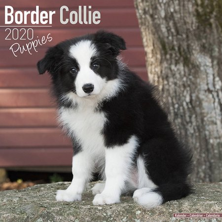 Border Collie Puppies Calendar 2020 - Border Collie Puppies Dog Breed Calendar - Border Collie Puppiess Premium Wall Calendar 2020