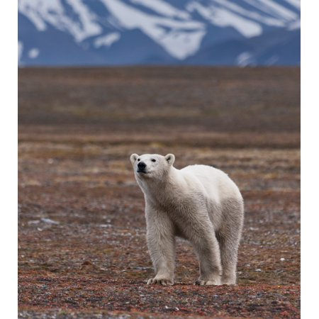 Polar bear Spitsbergen Island Svalbard Norway Stretched Canvas - Panoramic Images (12 x 12) Bears Panoramic Photo