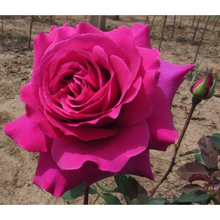 Deep Purple De Rose - Brindabella Purple Prince Shrub Rose - One of the World's Most Fragrant - 4