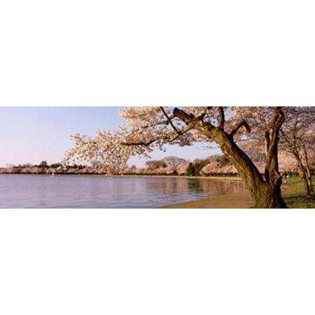 Cherry blossom tree along a lake Potomac Park Washington DC USA Poster Print