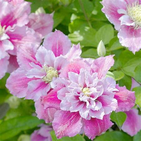 """Piilu Clematis Vine - Heaviest Blooming Clematis - 2.5"""" Pot - Little Duckling"""