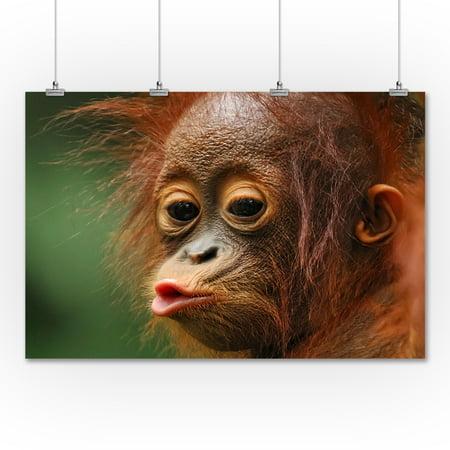 Baby Orangutan Kissing - Lantern Press Photography (36x54 Giclee Gallery Print, Wall Decor Travel Poster) (Babies Kissing)