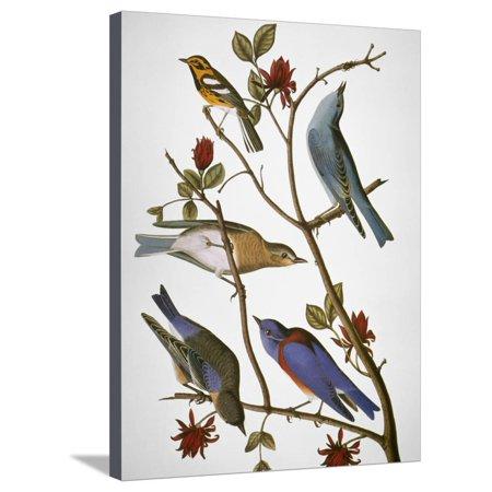 Audubon: Bluebirds Vintage Bird Illustration Stretched Canvas Print Wall Art By John James Audubon