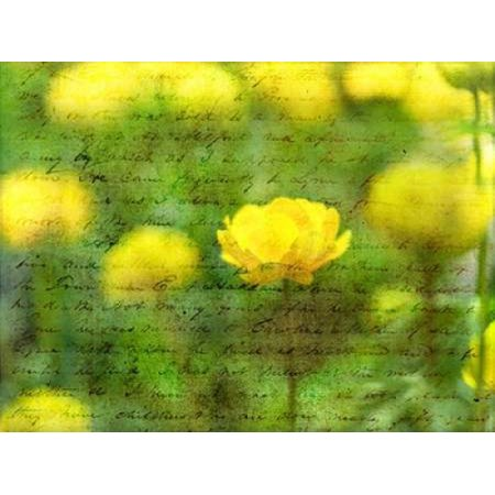 Beautiful Yellow Colored Anemone Flowers In Garden Canvas Art   Assaf Frank  18 X 24