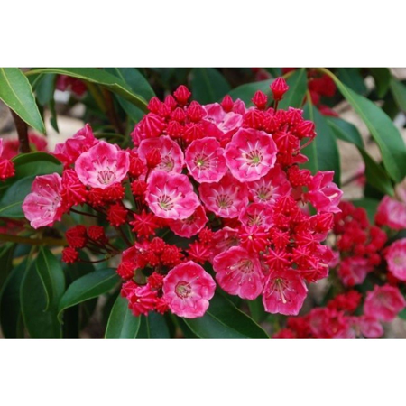 "Sarah Dwarf Mountain Laurel - Kalmia - Very Hardy - 2.5"" Pot"