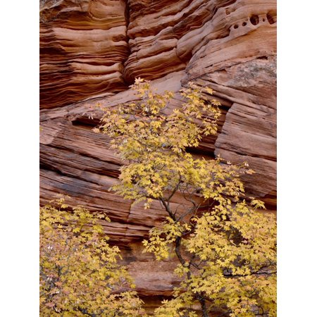 Yellow Maple Against a Red Rock Canyon Wall in the Fall, Zion National Park, Utah, USA Print Wall Art ()