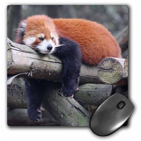 - 3dRose Adorable Red Panda, Sichuan Province, China, Mouse Pad, 8 by 8 inches