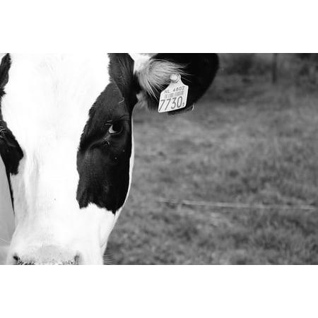 LAMINATED POSTER Animal Black White Cow Farm Beautiful White Black Poster Print 24 x (White Cow Print)