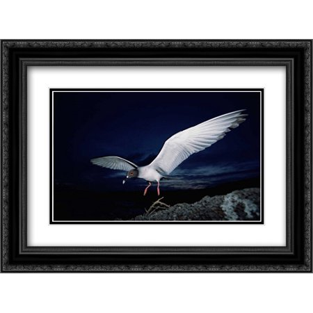 Swallow-tailed Gull departs at dusk to feed far offshore, Galapagos Islands 2x Matted 24x18 Black Ornate Framed Art Print by De Roy, Tui