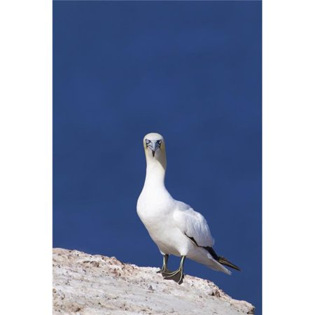 Gannet with An Attitude Staring At The Camera - Perce, Quebec, Canada Poster Print, 24 x 38 - Large - image 1 of 1
