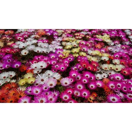Canvas Print Hwasaham Livingstone Daisy Flowers Garden Stretched Canvas 10 x