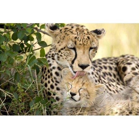 Africa, Kenya, Masai Mara National Reserve. Cheetah mother licking cub. Print Wall Art By Jaynes Gallery for $<!---->