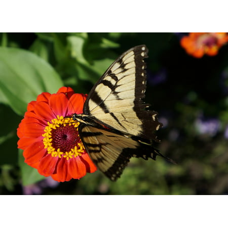 LAMINATED POSTER Flower Monarch Butterfly Monarch Butterfly Zinnia Poster Print 24 x 36