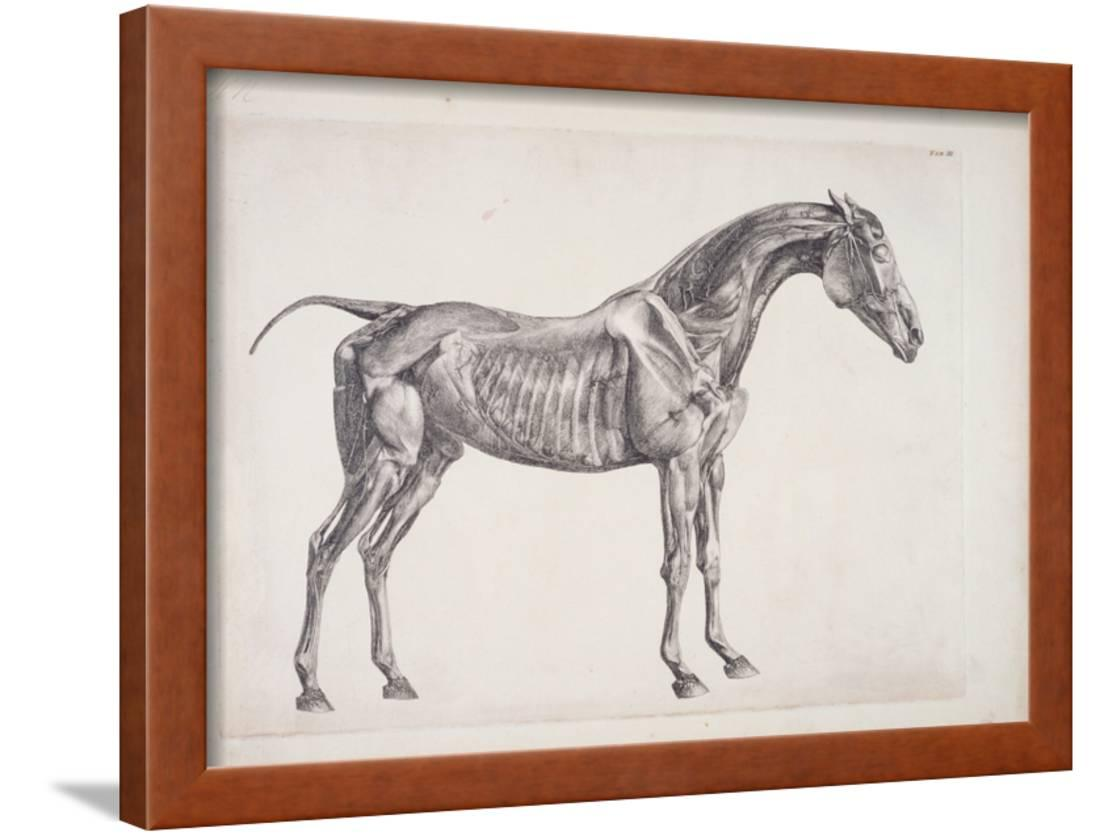 Plate From The Anatomy Of The Horse C1766 Framed Print Wall Art