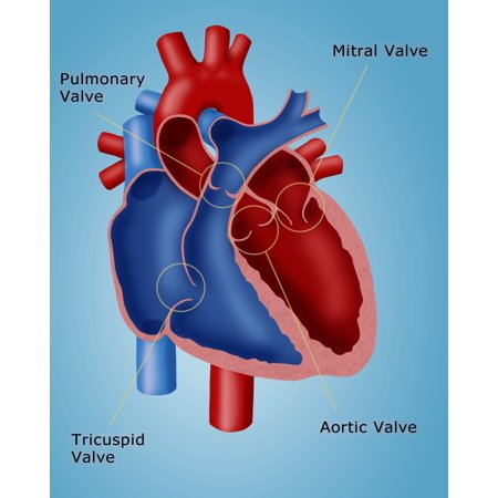 Heart Valves Poster Print By Monica Schroederscience Source