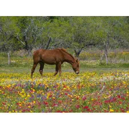Quarter Horse in Wildflower Field Near Cuero, Texas, USA Print Wall Art By Darrell Gulin