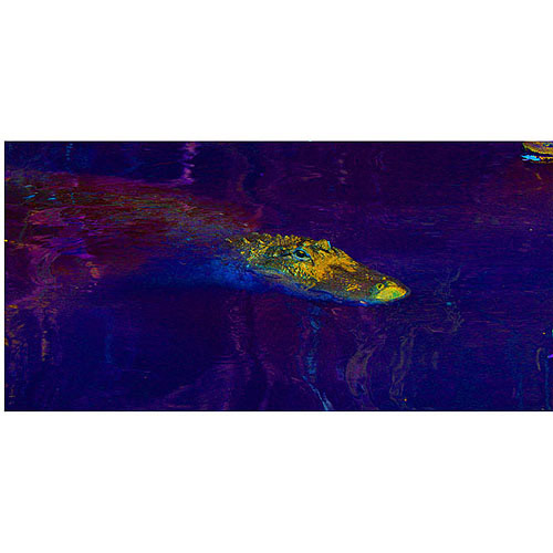 "Trademark Fine Art ""Gator I"" Canvas Art by Patty Tuggle, 12"" x 24"""