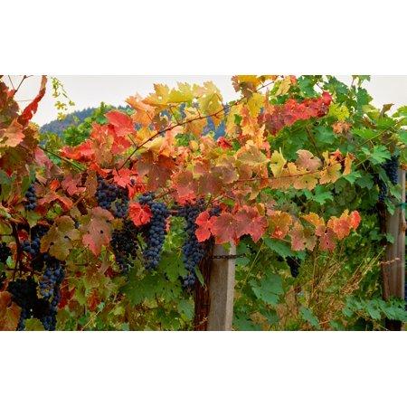 Estate Vineyard Cabernet - Close-up of Cabernet Sauvignon grapes on vine in a vineyard Callahan Ridge Winery Umpqua Valley Roseburg Douglas County Oregon USA Poster Print by Panoramic Images
