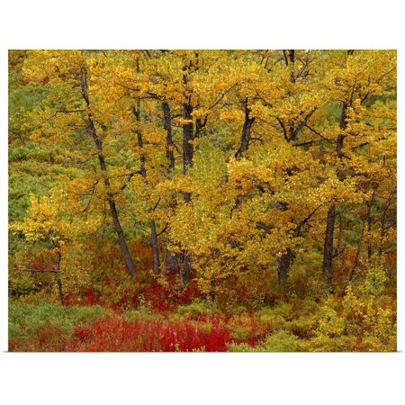 Great BIG Canvas   Rolled Vance Gese Poster Print entitled Cottonwoods in Autumn Color Willow Creek Valley SC AK