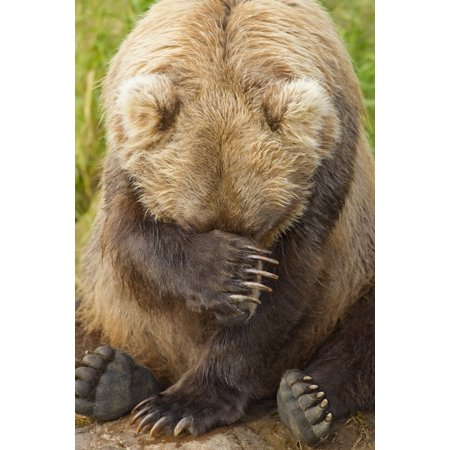 A Female Brown Bear Puts Her Paw Over Her Eyes And Rests While Sitting On The Bank Of Grizzly Creek In Katmai National Park Southwest Alaska Summer Canvas Art   John Hyde  Design Pics  12 X 19