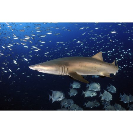 Sand Tiger Shark swimming in blue water off coast of North Carolina Poster Print