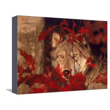 Gray Wolf Peeking Through Leaves Stretched Canvas Print Wall Art By Lynn M. Stone ()