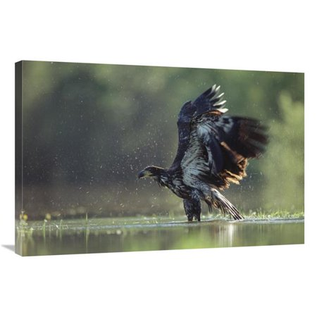 24 x 36 in. Bald Eagle Juvenile Bathing in A River, North America Art Print - Tim Fitzharris Juvenile American Bald Eagle
