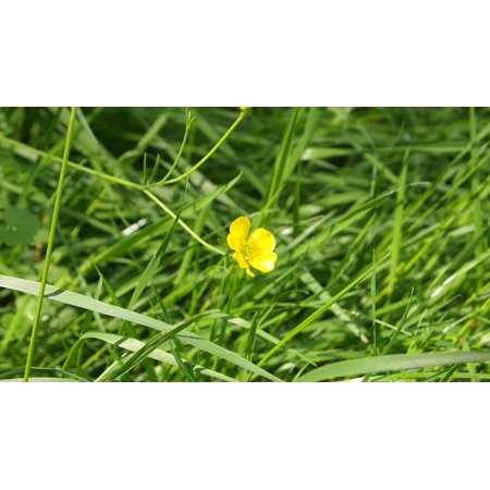 Canvas print nature buttercup green yellow flowers grass yellow canvas print nature buttercup green yellow flowers grass yellow stretched canvas 10 x 14 mightylinksfo