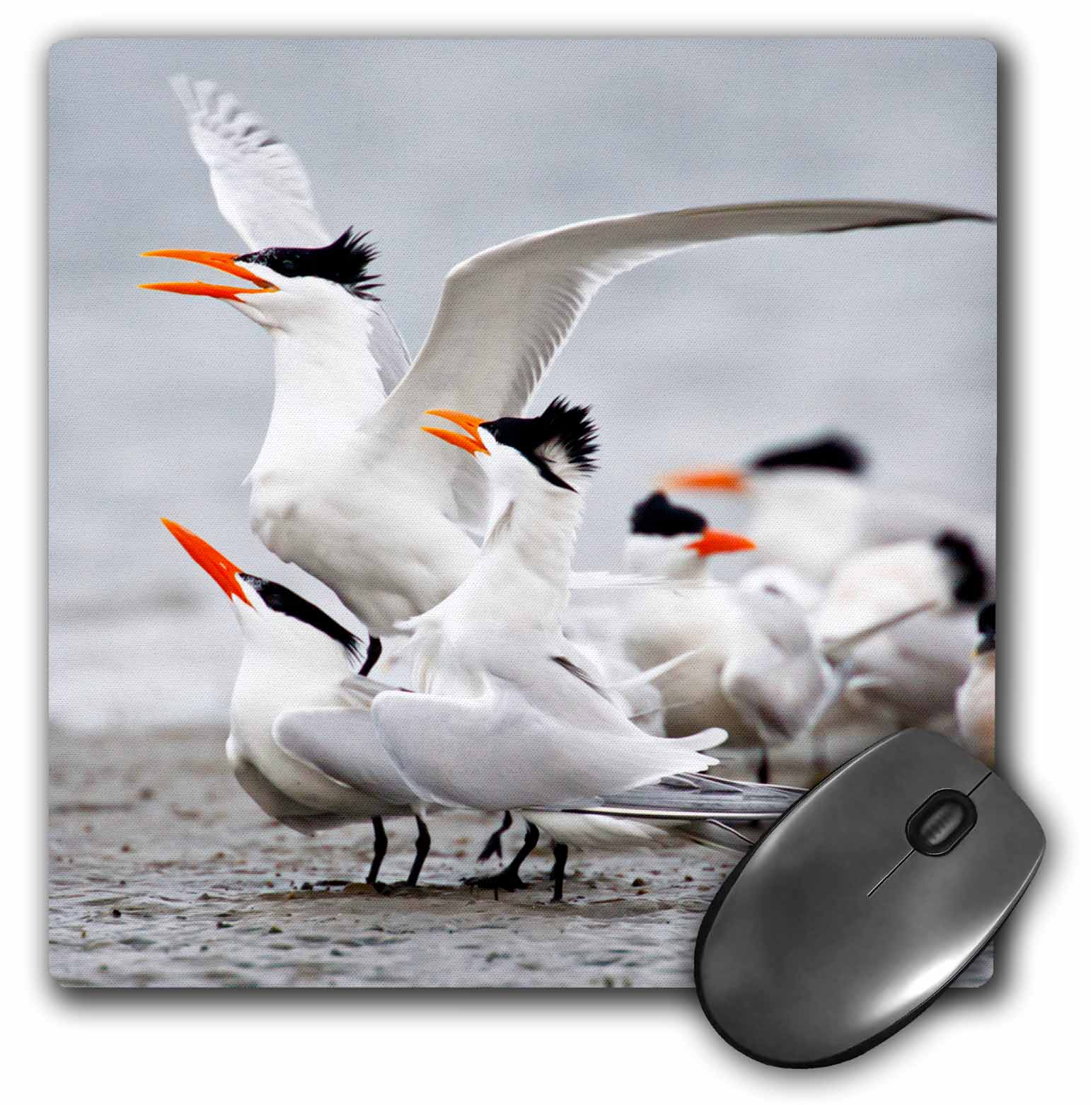 3dRose Royal Tern, Sterna maxima, courtship rituals in spring, Texas, USA, Mouse Pad, 8 by 8 inches