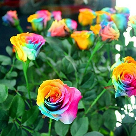 Rose Flower Seeds 100 Pieces - Rainbow Flower