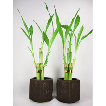 9GreenBox - Live 3 Style Party Set of 2 Bamboo Plant Arrangement w/ Ceramic Vase ()