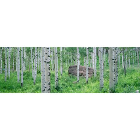 American aspen trees in the forest White River National Forest Colorado USA Canvas Art - Panoramic Images (27 x 9)