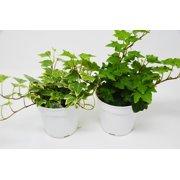 "2 Different English Ivy Plants - 4"" Pot - Live House Plant"