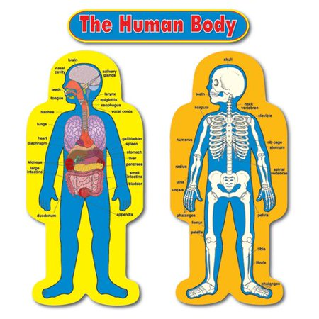 Frank Schaffer Publications/Carson Dellosa Publications Child-size Human Body Chart Set - Sizeing Chart