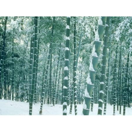 Bamboo Forest in Snow, Nishiyama, Kyoto, Japan Print Wall