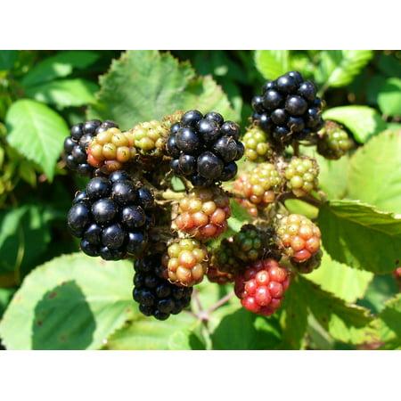 Canvas Print Health BlackBerry Nature Fruit Blackberries Plants Stretched Canvas 10 x 14