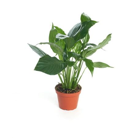 """Shop Succulents Live 4"""" Spathiphyllum"""