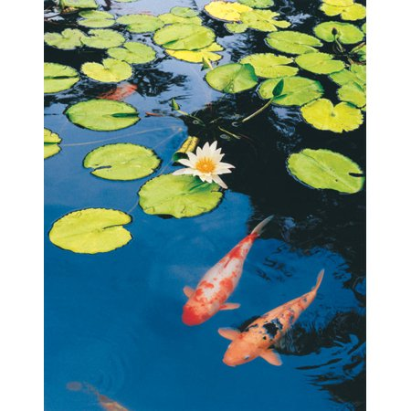 Koi Pond II Durable Lovely Quality Orange Beautiful Pond Pink Awesome Lily Lilly Poster 11X14