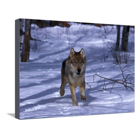Gray Wolf Running in Snow by Trees, Canis Lupus Stretched Canvas Print Wall Art By Lynn M. Stone ()