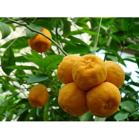 Orange Tropical Fruit - Canvas Print Fruit Nature Southern Fruits Oranges Tropical Fruit Stretched Canvas 10 x 14