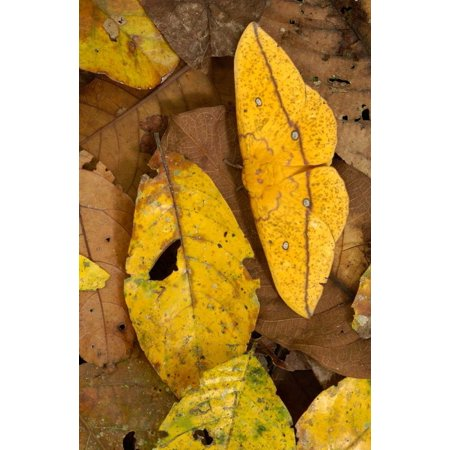 Imperial Moth camouflaged in leaf litter in rainforest Yasuni National Park Ecuador Poster Print by Pete Oxford
