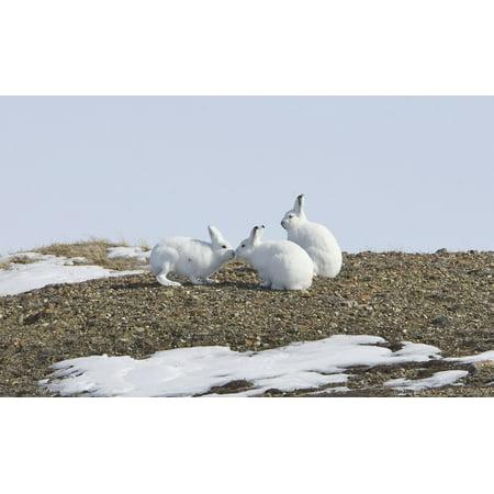 Arctic Hare Performing The Social Behavior Of Nosing On Banks Island Northwest Territories Canada Canvas Art   Matthias Breiter  Design Pics  19 X 12