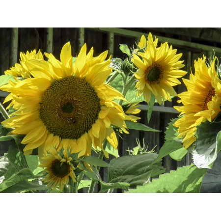 LAMINATED POSTER Close Up Flower Sunflower Summer Yellow Nature Poster Print 24 x 36
