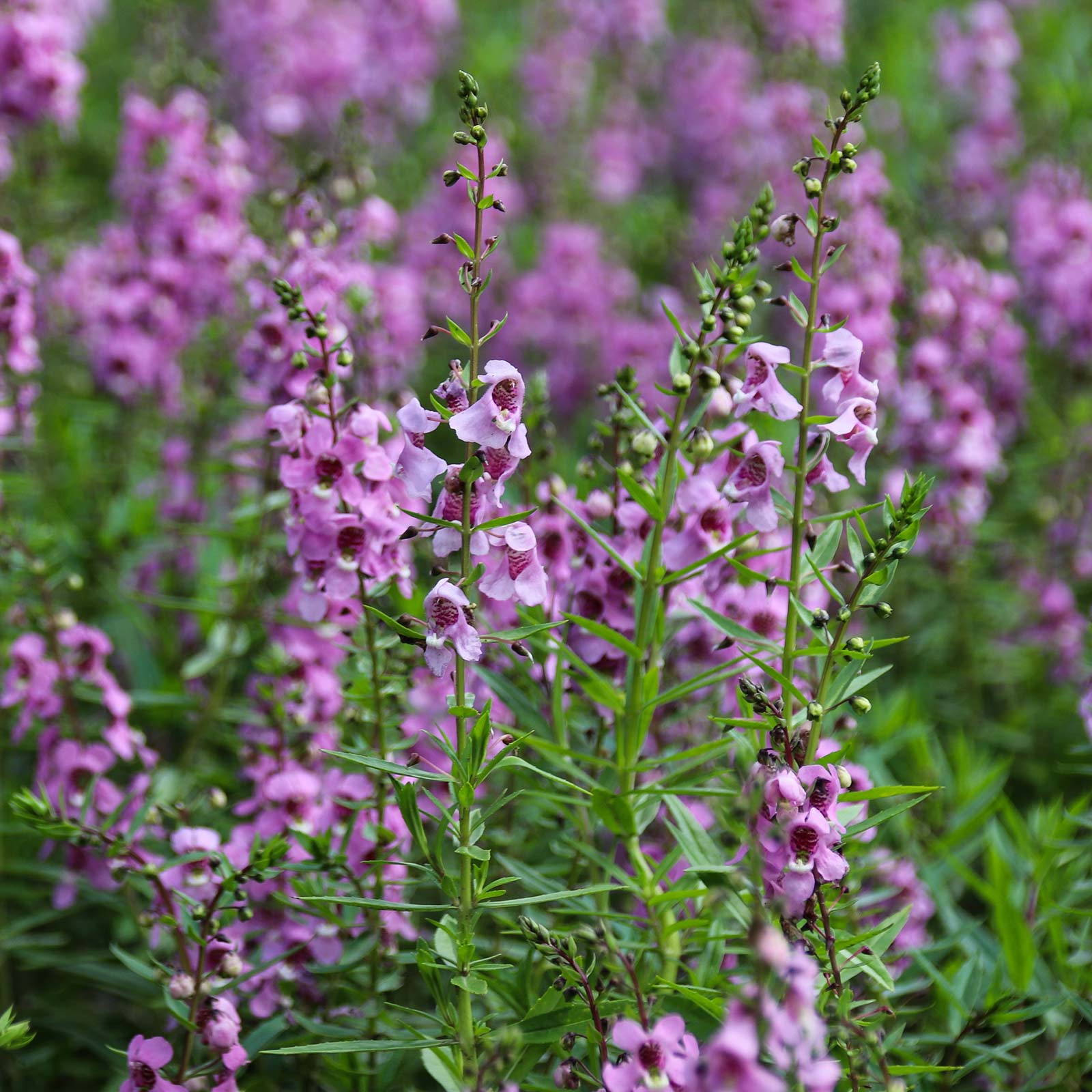 Ask Angelonia Serena Blue    100 seeds  Need More
