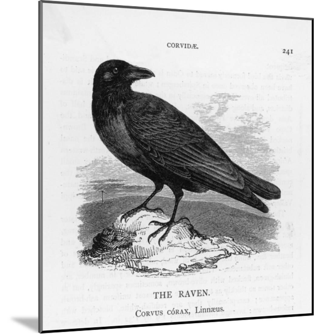 Raven (Corvus Corax) Perching on a Rock Wood Mounted Print Wall Art