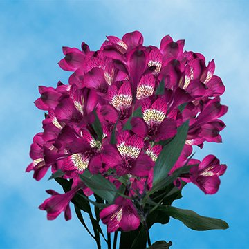 Globalrose 120 Blooms Of Purple Fancy Alstroemerias 30 Stems   Peruvian Lily Fresh Flowers For Delivery