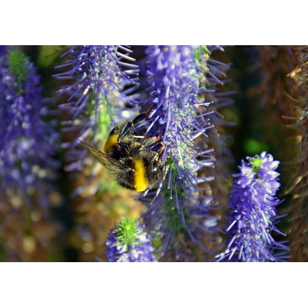 LAMINATED POSTER Summer Insect Sprinkle Plant Hummel Flower Nature Poster Print 24 x 36