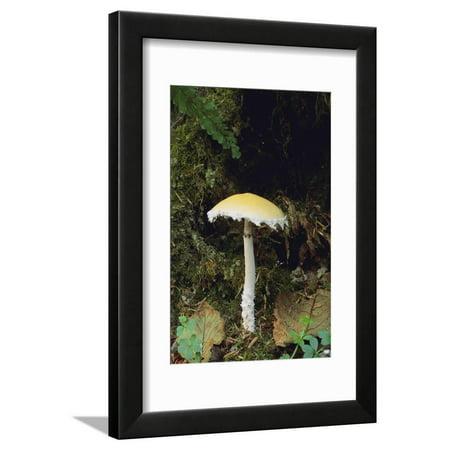 Stropharia Mushroom Framed Print Wall Art By DLILLC ()