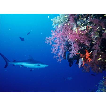 Rainbow Reef Shark - LAMINATED POSTER Shark Gray Reef Shark Swimming Predator Fish Ocean Poster Print 24 x 36