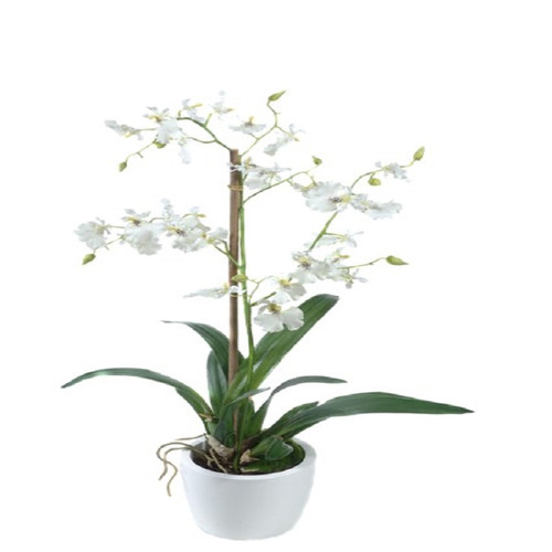 Gold Eagle USA Dancing Orchid and Foliage in a Pot